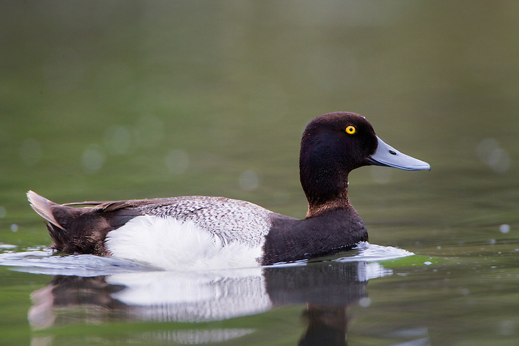 Lesser Scaup swimming on a pond on an overcast morning