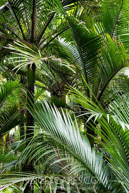 Native coastal forest of Nikau Palms in Kohaihai, Kahurangi National Park, Buller Region, West Coast, New Zealand, NZ