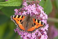 Kleiner Fuchs, Aglais urticae, Blütenbesuch auf Schmetterlingsflieder, Sommerflieder, Buddleja, small tortoiseshell