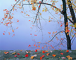 Merrick Stae Park, WI<br /> Autumn maple branches arching over rock wall and foggy river