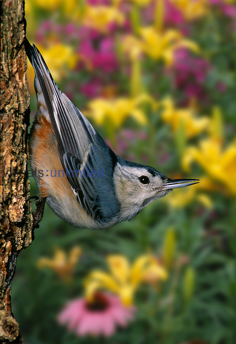 White-breasted Nuthatch walking down a tree trunk (Sitta carolinensis),  Day lilies and echinacea, North America.