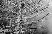 Sitka Spruce, Olympic National Park, Washington
