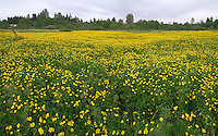 Buttercup flowers bloom in an abandoned farmfield, Lake Hills Greenbelt, Bellevue, WA