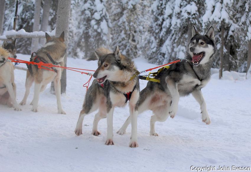Siberian Husky dogs, Lapland,