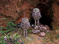"""A coruja buraqueira é sem dúvida a mais conhecida das corujas brasileiras, já que é facilmente vista durante o dia pousada em locais expostos. Recebe o nome científico cunicularia (""""pequeno mineiro"""") devido ao hábito de viver em buracos e cavidades no solo. De porte pequeno, com 23 cm de comprimento, a coruja possui uma cabeça redonda, tem sobrancelhas brancas, olhos amarelos, e pernas longas (Sick, 1997). A plumagem apresenta coloração cor de terra, às vezes, avermelhada, estratégia natural para se camuflar no solo. Ao contrário a maioria das corujas o macho é ligeiramente maior que a fêmea e as fêmeas são normalmente mais escuras que os machos (Antas, 2005; Sigrist, 2007). As corujas em geral não têm papo e a formação de pelotas é uma necessidade vital para estas aves. Também conhecida pelos nomes de caburé-do-campo, coruja-do-campo, coruja-mineira, corujinha-do-buraco, guedé, urucuera, urucuréia e urucuriá.<br /> Foto João Batista<br /> 2009"""