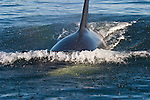 Killer Whale (Orcinus orca)  surfaces in Juan de Fuca Strait off Vancouver Island, British Columbia, Canada.