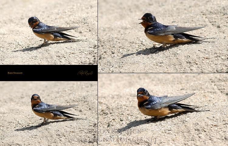 Barn Swallow LA River Southern California Composite Image