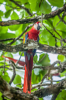 scarlet macaw, Ara macao, sitting in a tree near the coast of Drake Bay, Bahia Drake,  Isla del Cano, Costa Rica, Pacific Ocean