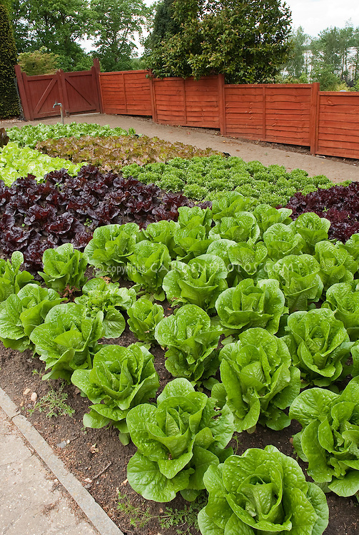 Red lettuce, green lettuces, romaine lettuce, heads of lettuce in fenced vegetable garden, in rows growing, wide view of many salad plants, with red fence, garden spigot hosepipe, tidy neat rows