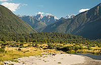 Cattle farming around Mahitahi River in South Westland, West Coast, UNESCO World Heritage Area, New Zealand, NZ