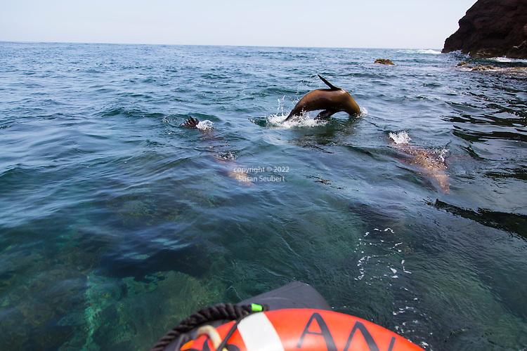 California Sea Lions playing in the water near the island San Pedro Martir in the Sea of Cortez, Baja California Mexico