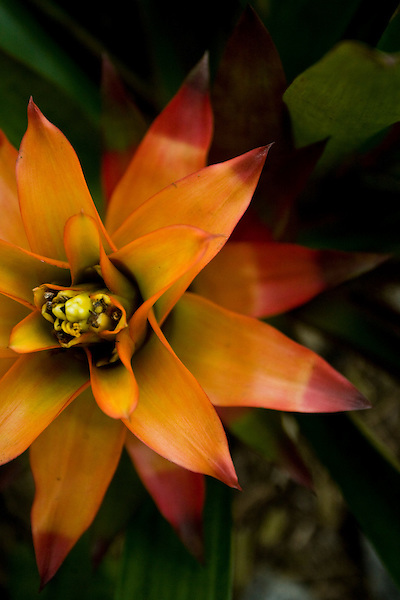 Rio de Janeiro_RJ, Brasil...Detalhe da bromelia...A bromeliad detail...Foto: JOAO MARCOS ROSA / NITRO