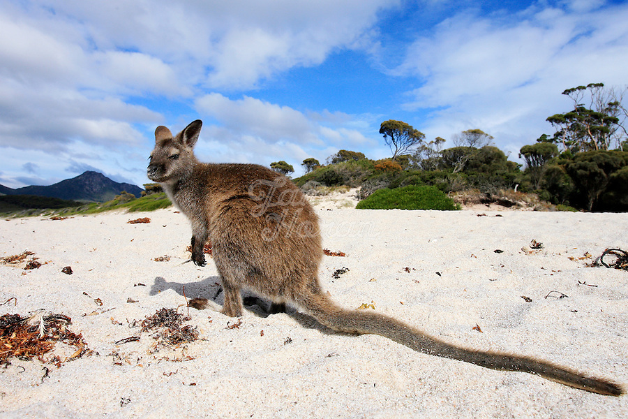A Bennett's Wallaby sits on the beach at Wineglass bay, Tasmania, Australia..Picture James Horan