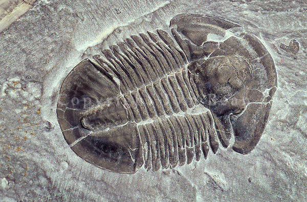 Trilobite fossil, Mid-Cambrian Period, 500 Million Years Old, Elrathis kingi, Antelope Springs Quarry, Utah, AGPix_0252.