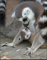 BNPS.co.uk (01202 558833)<br /> Pic: DaveTownend/BNPS<br /> <br /> ***Please Use Full Byline***<br /> <br /> Mothers pride...<br /> <br /> The Ring tailed Lemurs of Longleat are celebrating the arrival of baby Casper, the first new born this year in the safari parks fledgling troup of rescued primate's.<br /> <br /> And it's no surprise that his doting mother is constantly cuddling her baby - as he is one of the most endangered primates in the world.<br /> <br /> The rest of the highly social group all play there part in looking after the new baby, and keeper Beverly Evans said 'Its quite remakable to see the affection and care that the troup show towards the new arrival'.<br /> <br /> Lemurs are struggling to survive in their native Madagascar because of hunting and habitat loss, so any new offspring gives fresh hope.