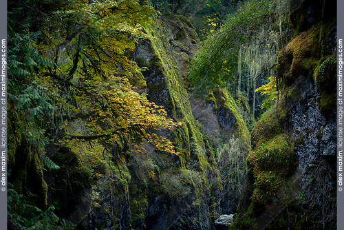 Beautiful dramatic fall nature scenery of mossy trees and rocks in Englishman River Falls Provincial Park. Errington, Vancouver Island, BC, Canada Image © MaximImages, License at https://www.maximimages.com