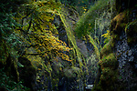 Beautiful dramatic fall nature scenery of mossy trees and rocks in Englishman River Falls Provincial Park. Errington, Vancouver Island, BC, Canada