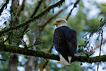 A Bald Eagle perched in a tree in the forest, in Brackendale, British Columbia, Canada,  Feb  3, 2008.