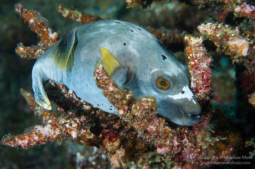 Taveuni, Fiji; a grey and yellow Blackspotted Puffer (Arothron nigropunctatus) fish resting on branching hard corals