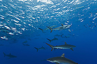 RM0883-D. Silky Sharks (Carcharhinus falciformis), dozens gathered together to feed on small fish in baitball. (Bait likely includes Green Jacks, Caranx caballus, and Scad Mackerel, Decapterus macarellus). Baja, Mexico, Pacific Ocean.<br /> Photo Copyright &copy; Brandon Cole. All rights reserved worldwide.  www.brandoncole.com