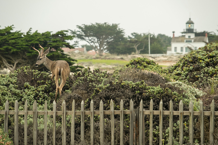Separated from the distant Pt. Pinos lighthouse by a lush golf course, this buck deer continues to forage in the bushes.
