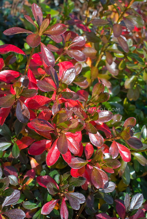 Rhododendron 'Orange Cup' evergreen Kurame Azalea fall foliage with R. 'Bixby' evergreen fall foliage