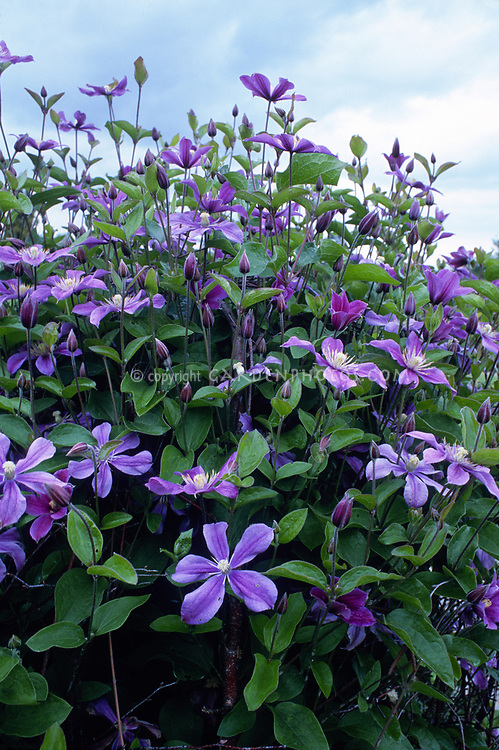 Clematis Arabella Plant Amp Flower Stock Photography