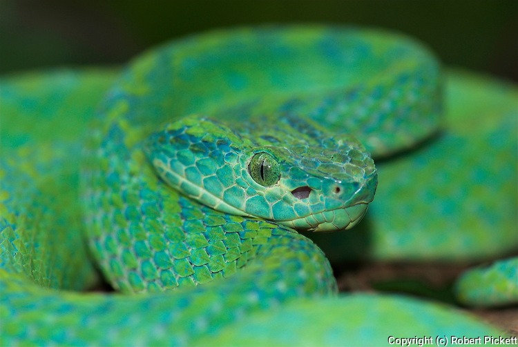 Honduran Palm Pit Viper Snake, Bothriechis marchi, Green and relatively slender with a prehensile tail, Honduras and eastern Guatemala, venemous, portrait.Central America....
