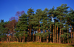 A08JPF Pine trees Rendlesham forest Suffolk England