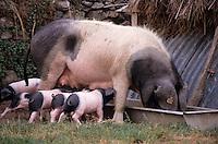 Europe/France/Aquitaine/64/Pyrénées-Atlantiques/Les Aldudes: Elevage de porcs basques de Pierre Oteiza dans la vallée des Aldudes - Truie et porcelets
