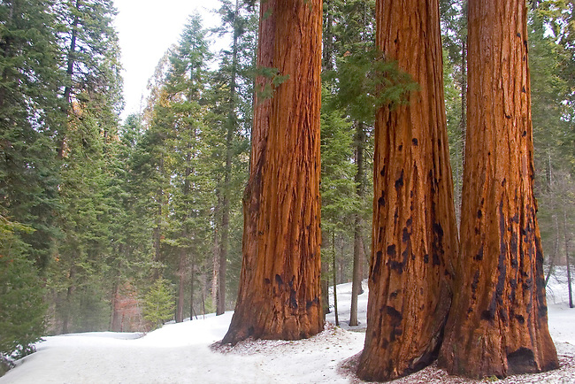 A stand of three Giant Sequoias stand out amongst the snow at Sequoia National Park, California