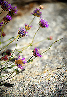 Pennyroyal, Mt. Whitney Trail