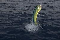 mahi mahi, dolphin fish, or dorado, Coryphaena hippurus, Kona, Big Island, Hawaii, Pacific Ocean