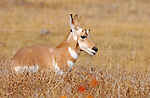 Pronghorn Juvenile, Lamar Valley, Yellowstone National Park, Wyoming