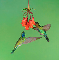 Mexican violetear (Colibri thalassinus) and Fiery-throated hummingbird (Panterpe insignis) in flight, drink nectar with red flower, Costa Rica, Central America