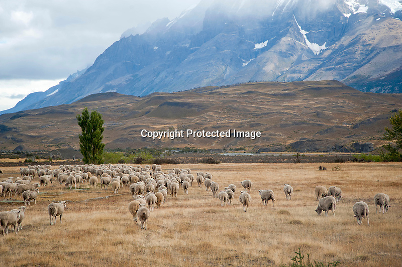 Flock of Sheep in the Patagonian Steppe of Chile