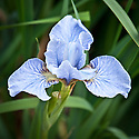 Iris sibirica 'Little Blue', late May.
