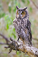 Long-eared Owl perched on the end of a branch