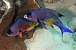 Clepticus parrae, Creole wrasse, Bonaire