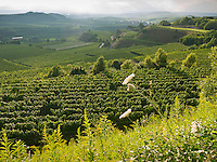 Germany, DEU, Baden-Wurttemberg, Vogtsburg-Bickensohl, 2010Jul28: Vineyards at the Kaiserstuhl hills.