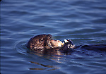 Sea otter with clam
