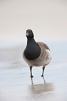 Adult Brant (Branta bernicla) of the pale-bellied Atlantic subspecies B. b. hrota. Ocean County, New Jersey. January.