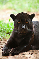 Cuiaba_MT, Brasil...Onca-pintada preta (Panthera onca) no Zoologico da UFMT (Universidade Federal do Mato Grosso)...Black jaguar (Panthera onca) in the Zoological of  UFMT (Federal University of Mato Grosso)...Foto: JOAO MARCOS ROSA  / NITRO..