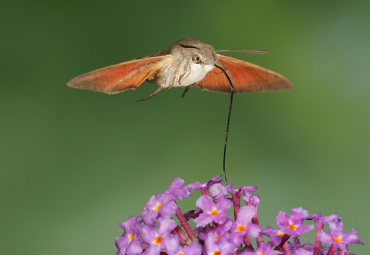 Hummingbird Hawk-moth Macroglossum stellatarum Wingspan 45mm. A fascinating, migrant day-flying moth that hovers and sips nectar from flowers using its long tongue; the wingbeats create an audible hum. Resting moths sometimes sit on banks but are well camouflaged and hard to spot. Adult has brown forewings and an orange patch on the hindwings. Flies May-October. Larva is pale green with a lengthways white line, white spots and a small bluish 'horn' at tail end. Larva feeds on bedstraws. An occasional migrant visitor to Britain from mainland Europe; numbers vary from year to year but always commonest on the south coast.