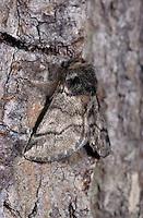 Eichen-Prozessionsspinner, Männchen, Prozessionsspinner, Eichenprozessionsspinner, Thaumetopoea processionea, oak processionary moth