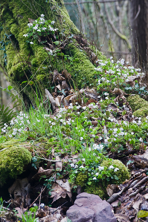 Wood sorrel (Oxalis acetosella), early April.