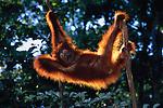Juvenile Orangutan in Tree; Tanjung Puting National Park, Borneo, Indonesia
