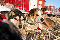 Rookie Middie Johnson's dogs rest at the Elim checkpoint on a sunny day during the 2010 Iditarod
