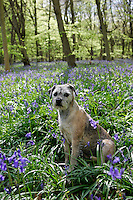 Border Terrier dog called Jes among bluebells growing in a wood in Oxfordshire, England