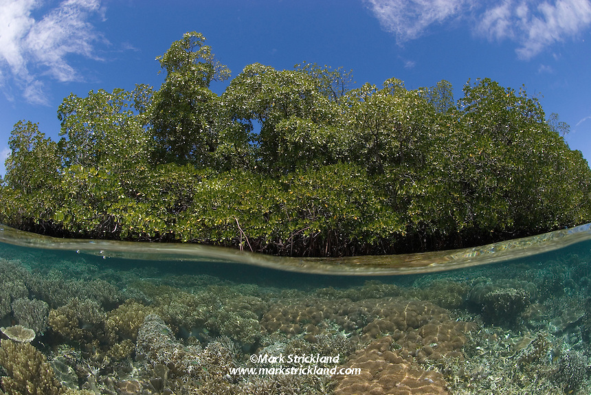 Healthy coral reef meets mangrove forest in clear water--an extremely productive and increasingly rare habitat.  Gam Island, Raja Ampat Islands, West Papua, Indonesia, Pacific Ocean